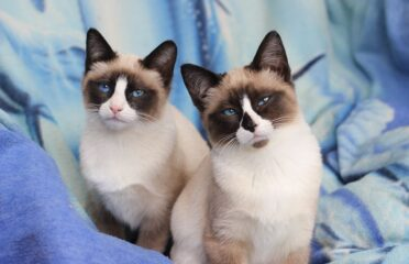 Retired Snowshoe girl available now in Tasmania